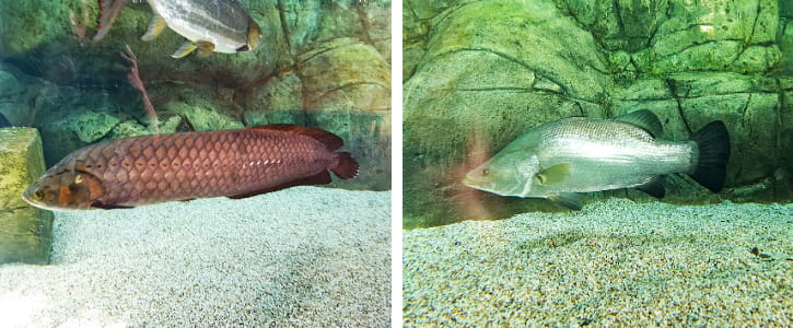 African Arowanas and Nile Perches