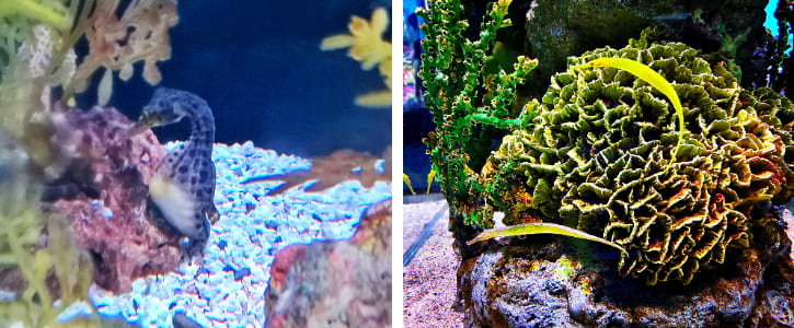 Big-belly Seahorses and Alligator Pipefishes