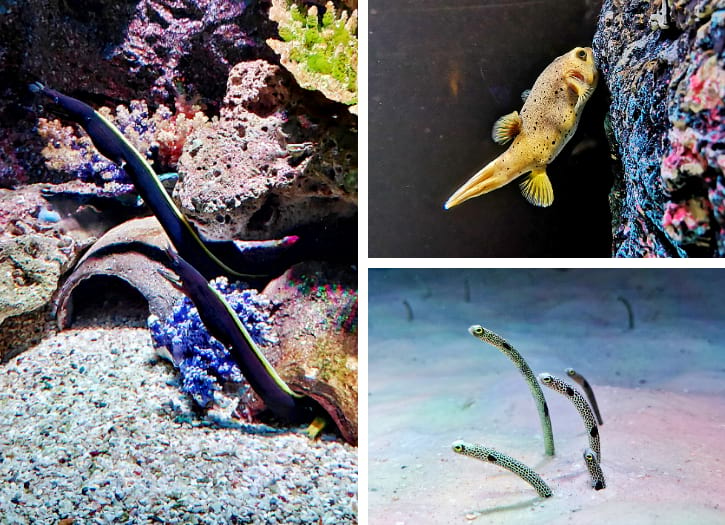 Ribbon Eels, Spotted Garden Eels, and Dog-faced Pufferfish